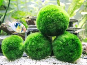 Marimo moss balls make beautiful decorations for fish tanks.
