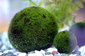 Slight browning means you need to clean your marimo.