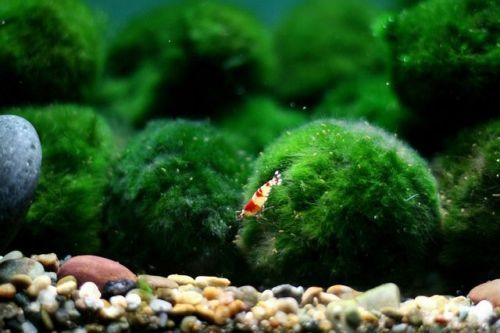 Giant marimo moss balls (2-inches).