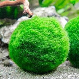 Large Marimo Moss Balls.