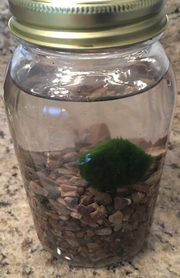 Marimo moss ball jar starter kit.